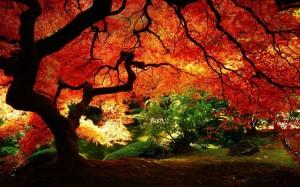 Maple-Tree-Autumn