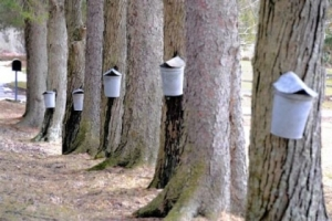 vintage-buckets-hang-on-red-maple-trees_420